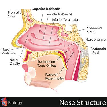 diagram of nose structure